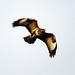Buzzard by amylewis.lincs