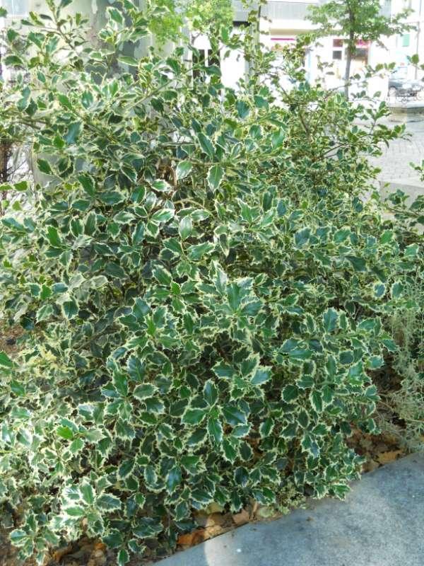 Ilex aquifolium 'Argenteomarginata' v 1