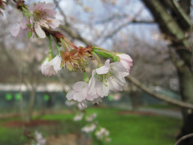 Prunus x subhirtella 'Jugatsu-zakura.' Photo by Rebecca Bullene.