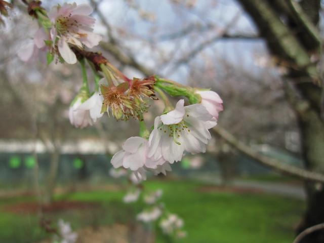 Prunus x subhirtella 'Jugatsu-zakura.' Photo by Rebecca Bullene.