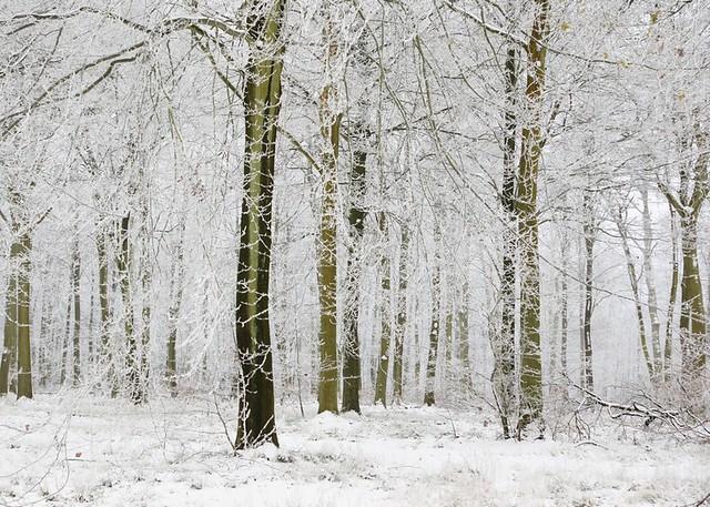 Frosty Woodland.