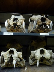 hippo skull collection at amnh