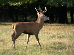Red deer bull