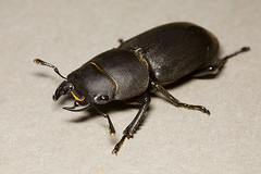 japanese rhinoceros beetle(0.0), arthropod(1.0), scarabs(1.0), animal(1.0), invertebrate(1.0), insect(1.0), macro photography(1.0), fauna(1.0), close-up(1.0), beetle(1.0),