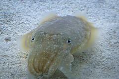 fish(0.0), animal(1.0), marine biology(1.0), invertebrate(1.0), marine invertebrates(1.0), cuttlefish(1.0),