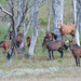 Small photo of Brumby Mob
