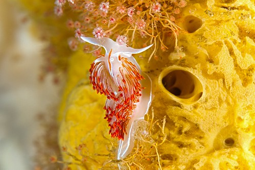 Nudibranch on sponge, grazing 0361