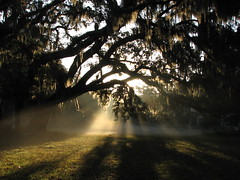 Morning Sunlight through Live Oak