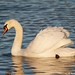 Mute Swan - The Golden Swan