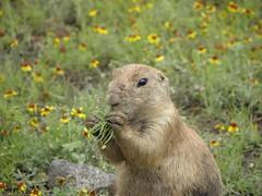 fox squirrel(0.0), animal(1.0), prairie(1.0), squirrel(1.0), rodent(1.0), prairie dog(1.0), fauna(1.0), marmot(1.0), capybara(1.0), whiskers(1.0), wildlife(1.0),