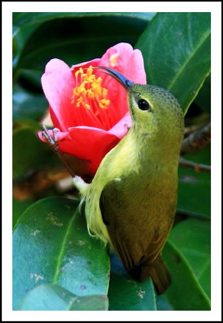 Aethopyga christinae 叉尾太陽鳥 4