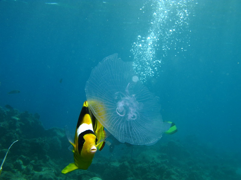 Butterfly Fish eating Jellyfish