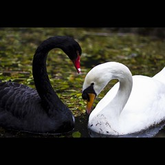 animal(1.0), black swan(1.0), water bird(1.0), swan(1.0), wing(1.0), fauna(1.0), beak(1.0), bird(1.0), wildlife(1.0),