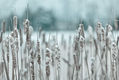 winter snow cold reed cool pond alabama january cattail canonef70200mmf40lusm canoneos5dmarkii gettyimagescallforartists bhphotocoldcontest