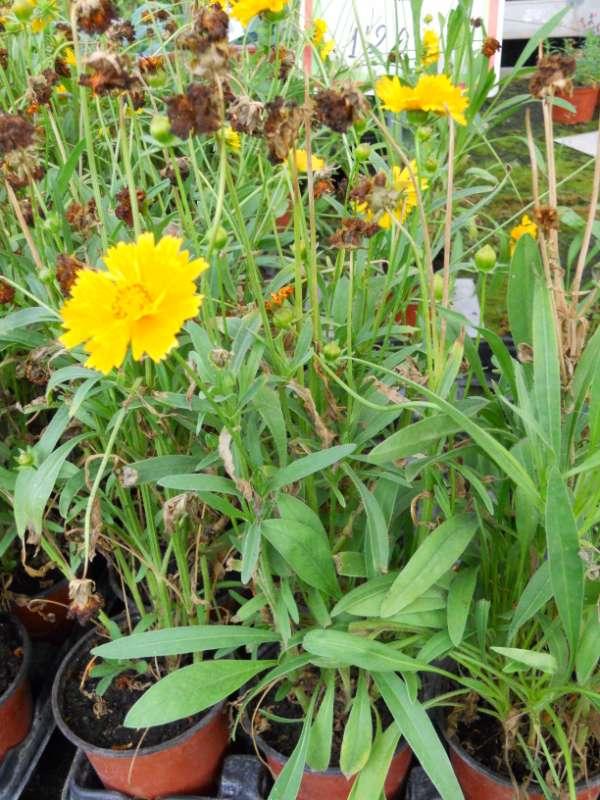Coreopsis grandiflora v 2