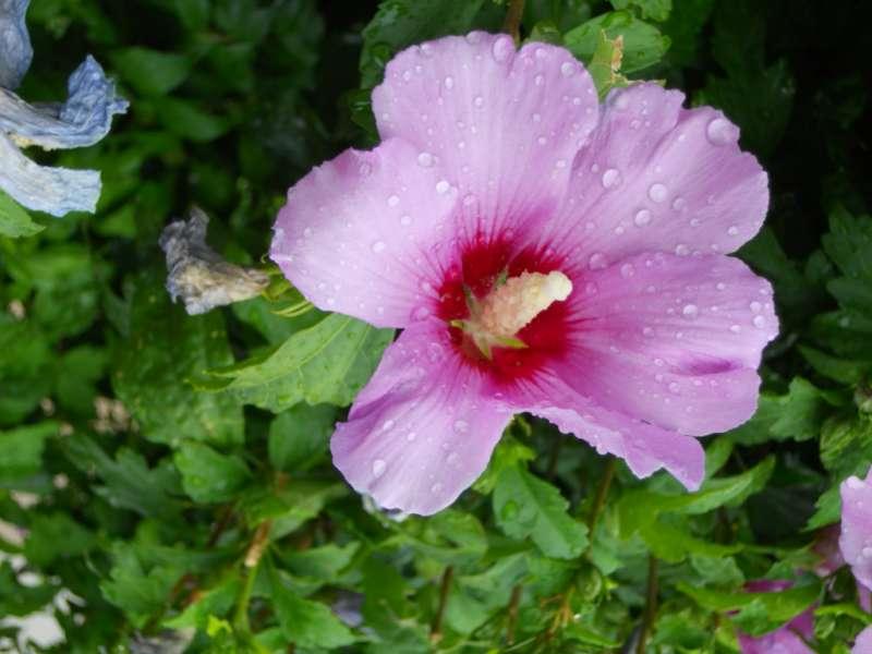 Hibiscus syriacus 'Coelestis' 1