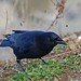 Northwestern Crow - Photo (c) Guy Monty, some rights reserved (CC BY-NC-SA)