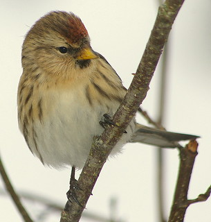 Pentax K100D.Flash.55-300mm Lens.Redpoll Amongst Hazel Branches.December 10th 2010.