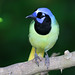 Green Jay by Doug Lloyd