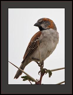 Rufous Sparrow (Passer rufocinctus)