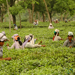 In the Fields - Tea Plantations in West Bengal, India