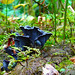 Blue Chanterelle (Polyozellus multiplex) by Paul Dalcanale