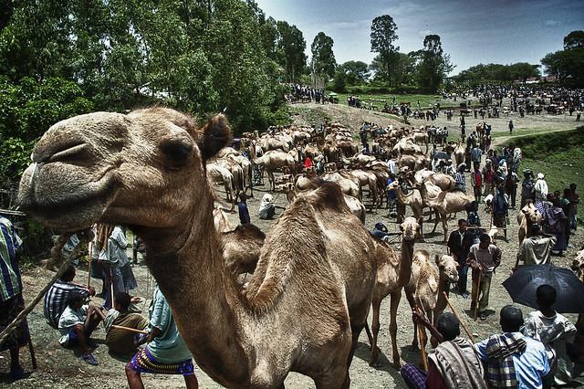 Camel market in Turmi, Ethiopia.