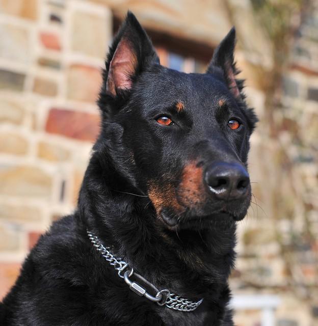 собака французская овчарка