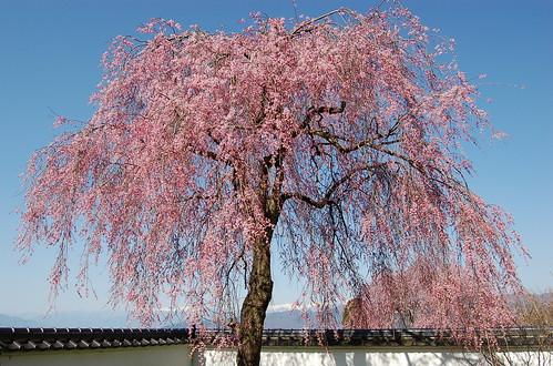 慈雲寺 枝垂れ桜