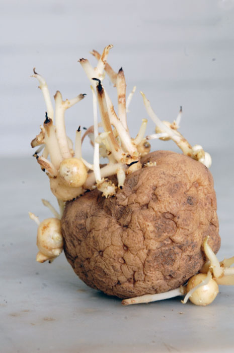 A rare glimpse at potatoes growing on a potato.The Art of ...