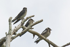 Purple Martins by Herman1944