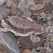 Regal Horned Lizard - Photo (c) Lon&Queta, some rights reserved (CC BY-NC-SA)