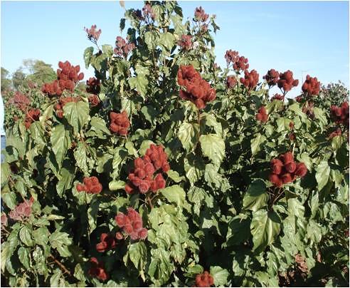 Cole o plantas arom ticas e medicinais urucum flickr for Jardinera plantas aromaticas