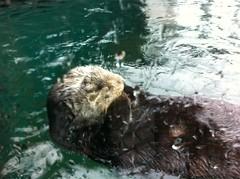 animal, marine mammal, mustelidae, fauna, sea otter,