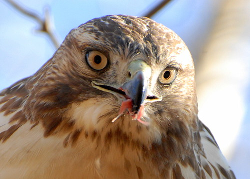 1 more Red-Tailed hawk. 1 less Chipmonk.