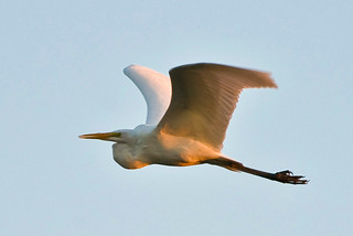 Ardea alba alba In Flight At Sundown