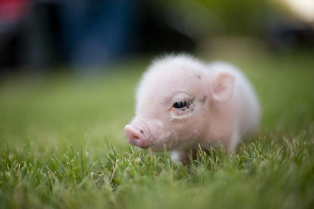 Worlds cutest piglet - photo#14
