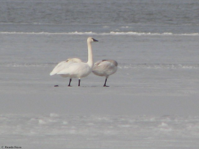 Pair of Tundra Swans