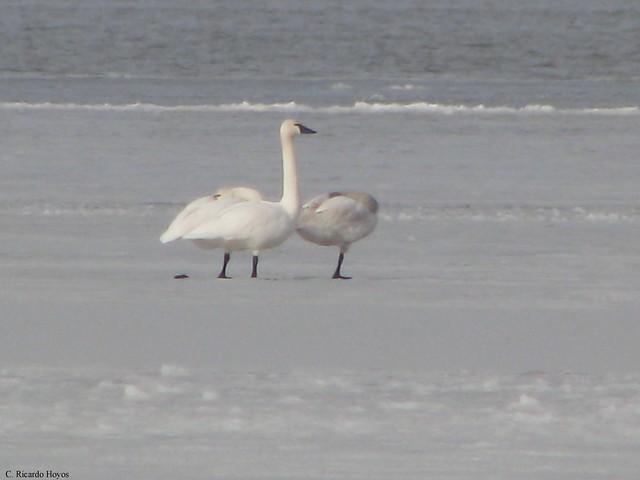 Pair of Tundra Swans