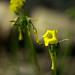 Agrillo, vinagrillo (oxalis pes-caprae)