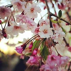 #cherryblossoms in the #bronx #pelhambay #spring #tree #teamcanon #eosm #canoneosm #22mm #photogene2