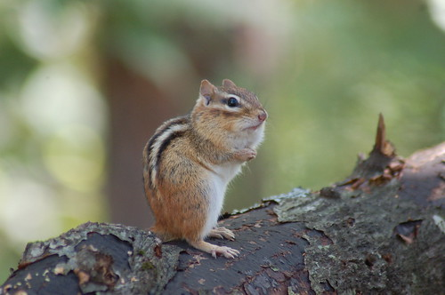 Chipmunk.  Photo © Flickr User: Blue Cape Design.