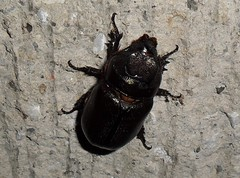 japanese rhinoceros beetle(0.0), arthropod(1.0), animal(1.0), invertebrate(1.0), insect(1.0), macro photography(1.0), fauna(1.0), dung beetle(1.0), close-up(1.0), ground beetle(1.0),