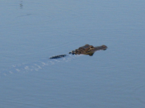 Ft Myers, 3 foot gator