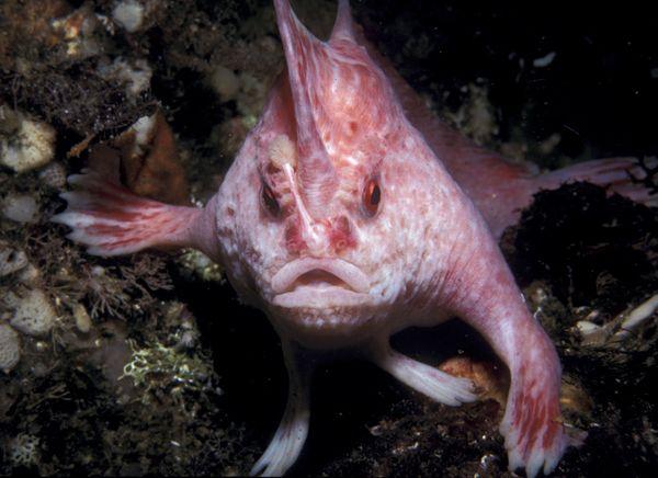 new-handfish-species-pink_20881_600x450