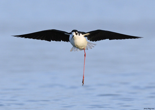 One-legged Stilt