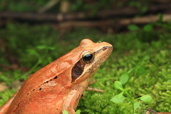 長腳赤蛙 Long-legged Brown Frog