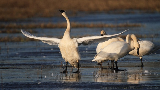 Tundra Swans - on ice