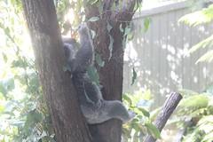 animal, branch, mammal, koala, fauna, wildlife,