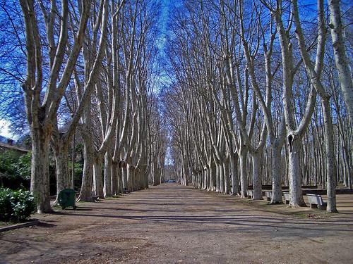 Girona Plane Trees by ronmcbride66